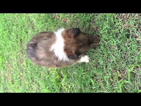 AKC Sable Sheltie Male