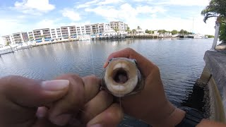 Fishing For Mangrove Snapper and Checkered Pufferfish (Florida Fishing)