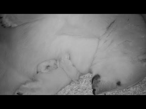 Bremerhaven: Eisbären-Nachwuchs im Zoo am Meer Bremerhaven