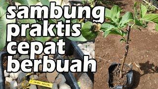 Video CARA PRAKTIS SAMBUNG PUCUK JAMBU KRISTAL AGAR CEPAT BERBUAH MP3, 3GP, MP4, WEBM, AVI, FLV November 2018