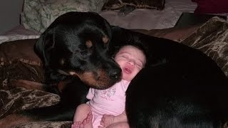 Rottweiler Dogs And Babies Kissing
