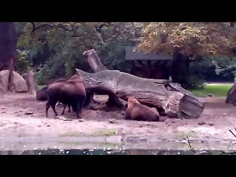 Bisons - Tierpark Berlin (am 09. September 2017)
