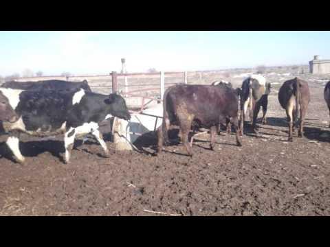 Породистые коровы Кыргызстана - DomaVideo.Ru