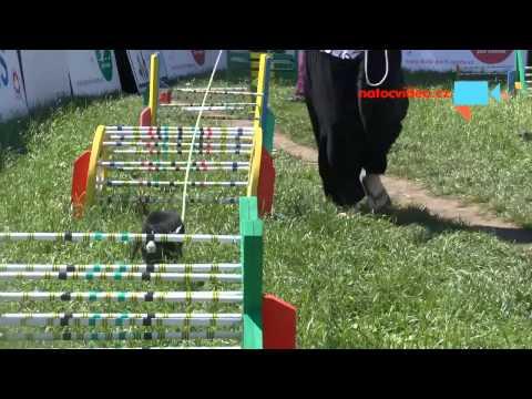 Králičí hop - skákání králíků přes překážky na Bambiriádě 2014