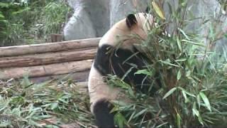 Pandas at the ChengDu Research Center, SiChuan province