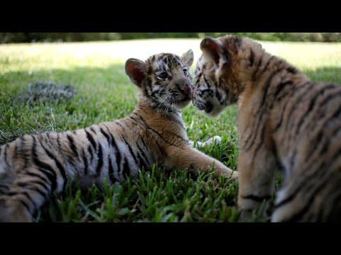 Guadalupe/Mexiko: Bengalische Tigerbabys faszinieren d ...