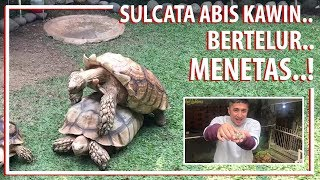 Video Kura-kura Sulcata Abis Kawin, Bertelur, Menetas..! MP3, 3GP, MP4, WEBM, AVI, FLV November 2018