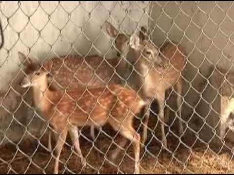 Kỹ thuật chăn nuôi hươu sao VTV16