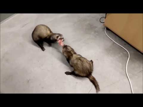 Ferrets Fighting Over Meat