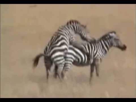 Zebra male trying to make little zebras…