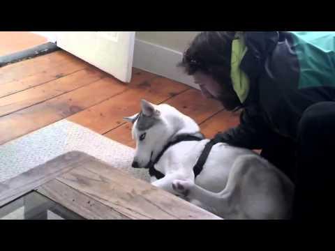 哈士奇堅持不回狗窩 躺在地上耍賴、大喊「No!」