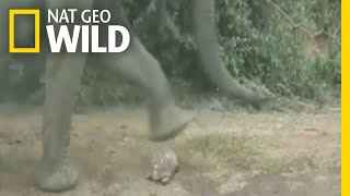 Tortoise Narrowly Avoids Being Trampled By Elephants | Nat Geo Wild by Nat Geo WILD