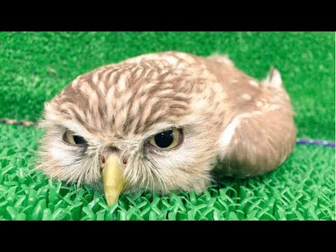 Funny cat videos - CUTE OWL - Funny Owls And Cute Owl Videos Compilation  BEST OF