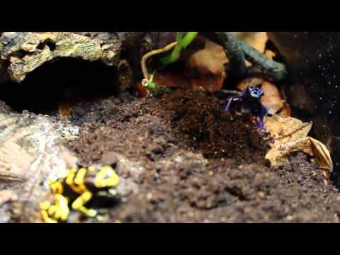 Passion NAC Aube - 35 - Emission Reptile - Plongée dans un terrarium de dendrobate
