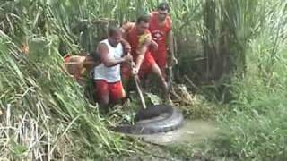 Giant Anaconda Caught In Brazil