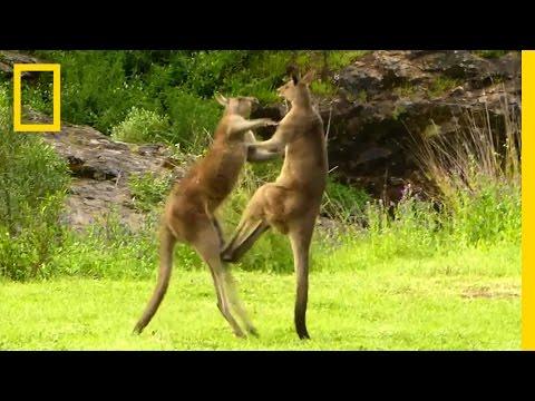 Kangaroo vs. Kangaroo   National Geographic