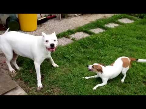 aria, dogo argentino play with gin