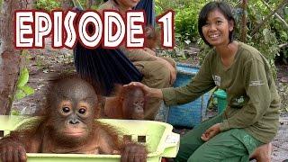 """Video We Love Orangutans - """"The Babysitter"""" MP3, 3GP, MP4, WEBM, AVI, FLV September 2018"""