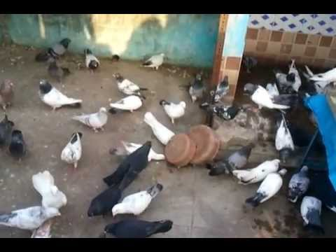 indian pigeon - Bahar Party.