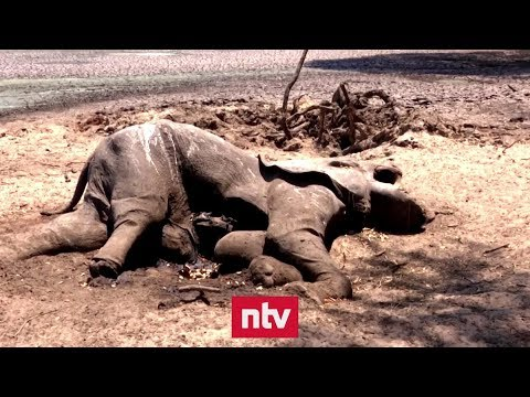 Simbabwe: Wildtiere verenden wegen Dürre qualvoll | n-tv