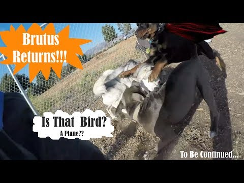 Video Brutus The Rottweiler Helps Husky Krypto The SuperDog! Dog Dominance download in MP3, 3GP, MP4, WEBM, AVI, FLV January 2017