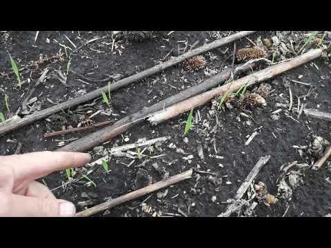 сходи пшениці. Міжряддя 10 см - DomaVideo.Ru