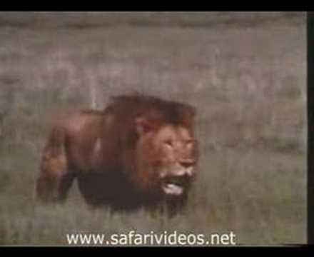 Lion Attack to Hyena and Other Lions (Safari Videos)