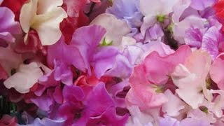 How To Grow Sweet Peas (part 1) | AMATEUR GARDENER