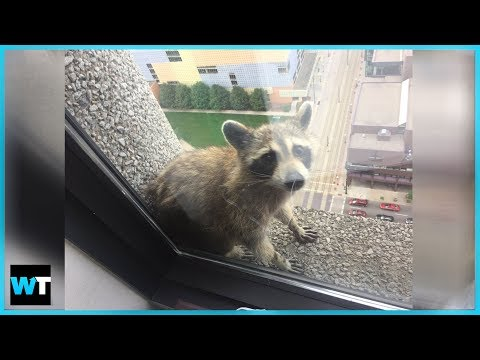The Thrilling Saga of the MPR Raccoon! | What's Trending Now!