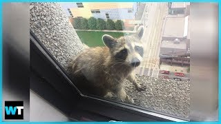 Video The Thrilling Saga of the MPR Raccoon! | What's Trending Now! MP3, 3GP, MP4, WEBM, AVI, FLV Agustus 2018
