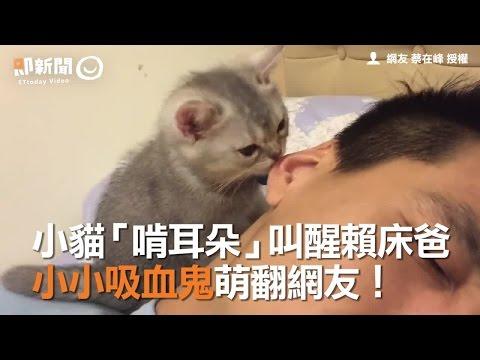 小貓「啃耳朵」叫醒賴床爸 小小吸血鬼萌翻網友!