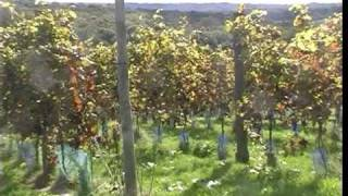 Sedlescombe United Kingdom  City new picture : Harvest Time at Sedlescombe Organic Vineyard