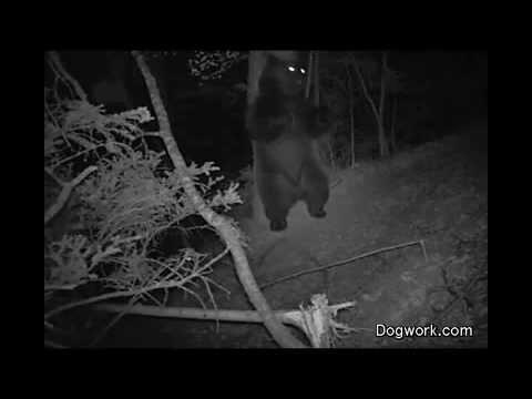 Чем на самом деле занимаются медведи ночью