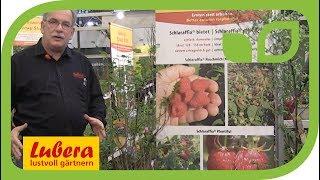 Neue Himbeeren von Lubera: die Schlaraffia® Herbsthimbeeren