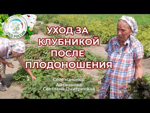 Уход за земляникой садовой после сбора урожая.