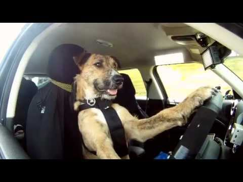 un cane pilota: video straordinario!