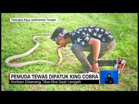 Tragis! Pemuda Tewas Dipatuk King Cobra Peliharaan Sendiri