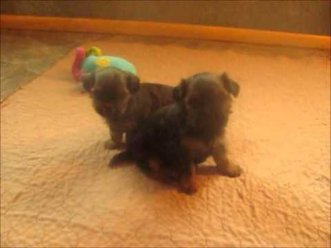Meet Bebe and Princess two wonderful shorkie puppies