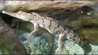 Australian Freshwater Crocodile and Water Reptiles