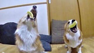 Goro & Roku eat apple / リンゴを食べるゴローさんとロクさん 20170115  dog コーギー 犬 trick 鼻パク