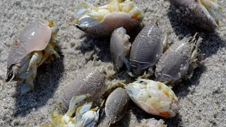 Video How to catch sand fleas by hand in Florida. MP3, 3GP, MP4, WEBM, AVI, FLV Agustus 2017