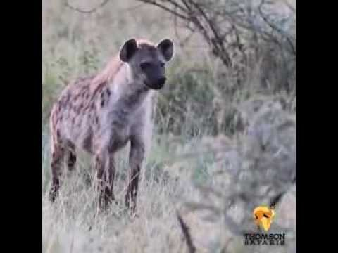 0 Hyenas: Nature's Gender Benders