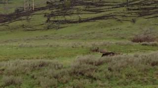 Video Grizzly bear surprises hikers in Yellowstone NP. MP3, 3GP, MP4, WEBM, AVI, FLV Mei 2017