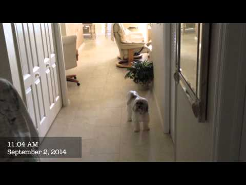 Havanese Stopped Barking and Jumping