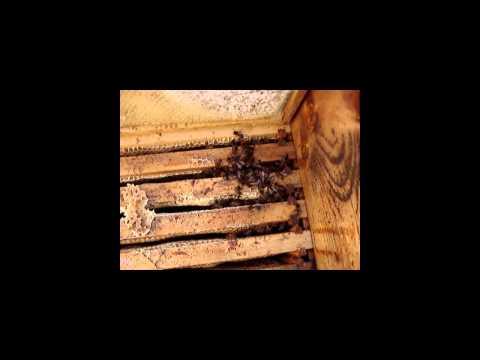 Emergency feeding of bees in winter (feeding honey) HD