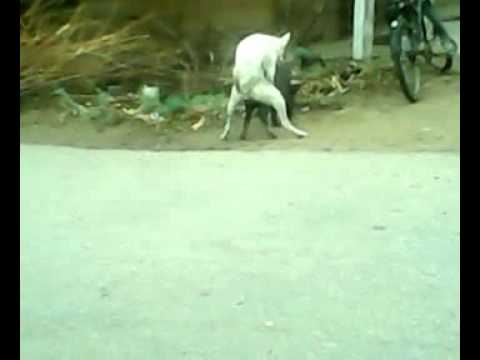 Video Dog & Pig mating2.mp4 download in MP3, 3GP, MP4, WEBM, AVI, FLV January 2017