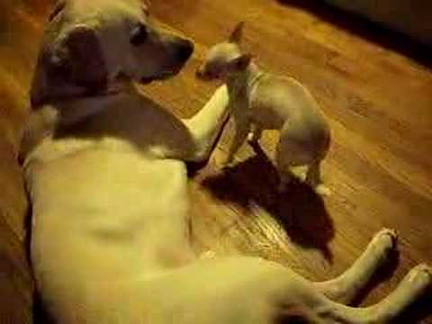 Yellow lab. and Chihuahua Funny dogs