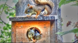 Red Squirrel Babies in Nest Box - YouTube