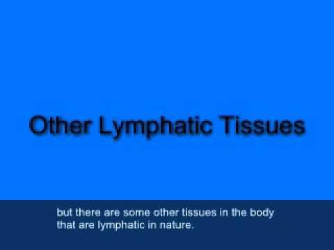 25 Kapitel 06 Teil 01 Lymphatische Anatomie