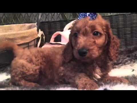 Handsome Male Mini Goldendoodle!